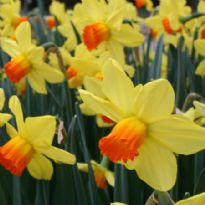 Daffodil Fortune Bulbs